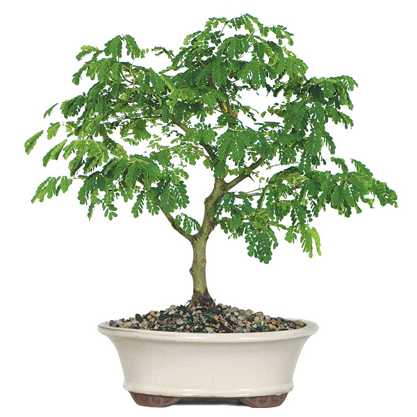brazilian-rain-bonsai-tree.jpg