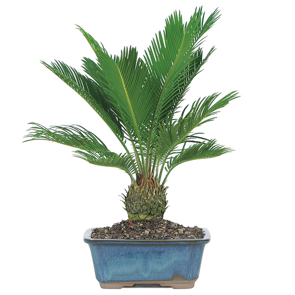 sago-palm-bonsai-tree.jpg