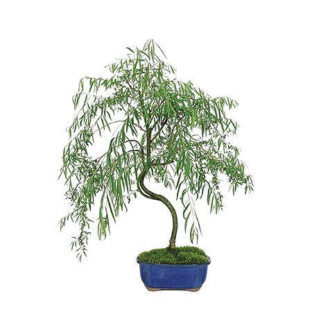 weeping-willow-bonsai-tree.jpg