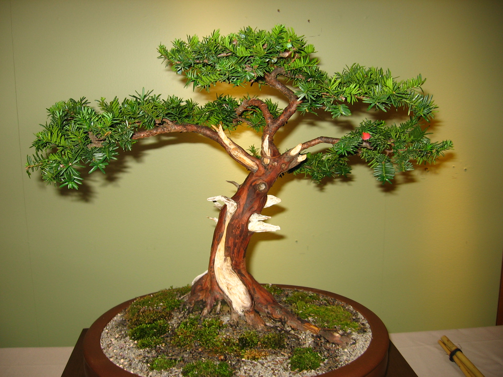 Chinese Yew Bonsai Care