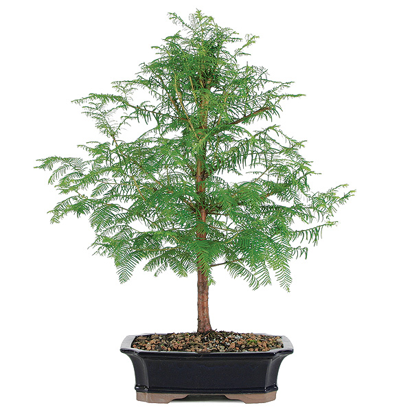 dawn-redwood-bonsai-tree.jpg