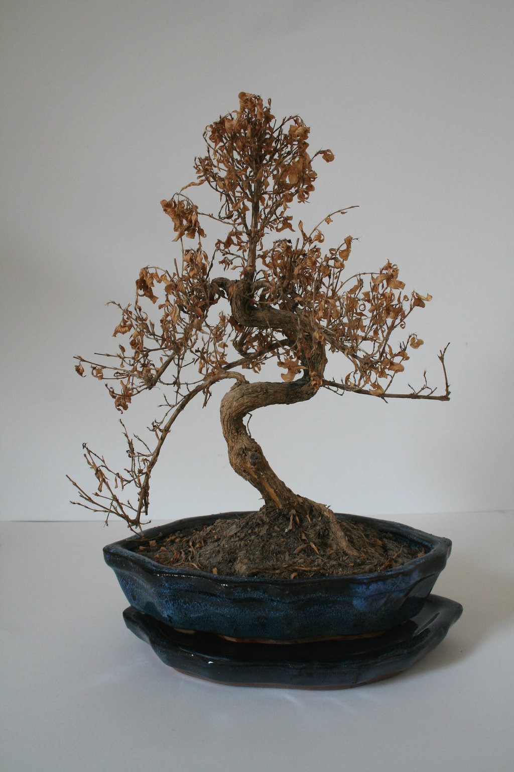 There S No Reason To Call 9 1 1 When Your Bonsai Needs First Aid Bonsai Outlet
