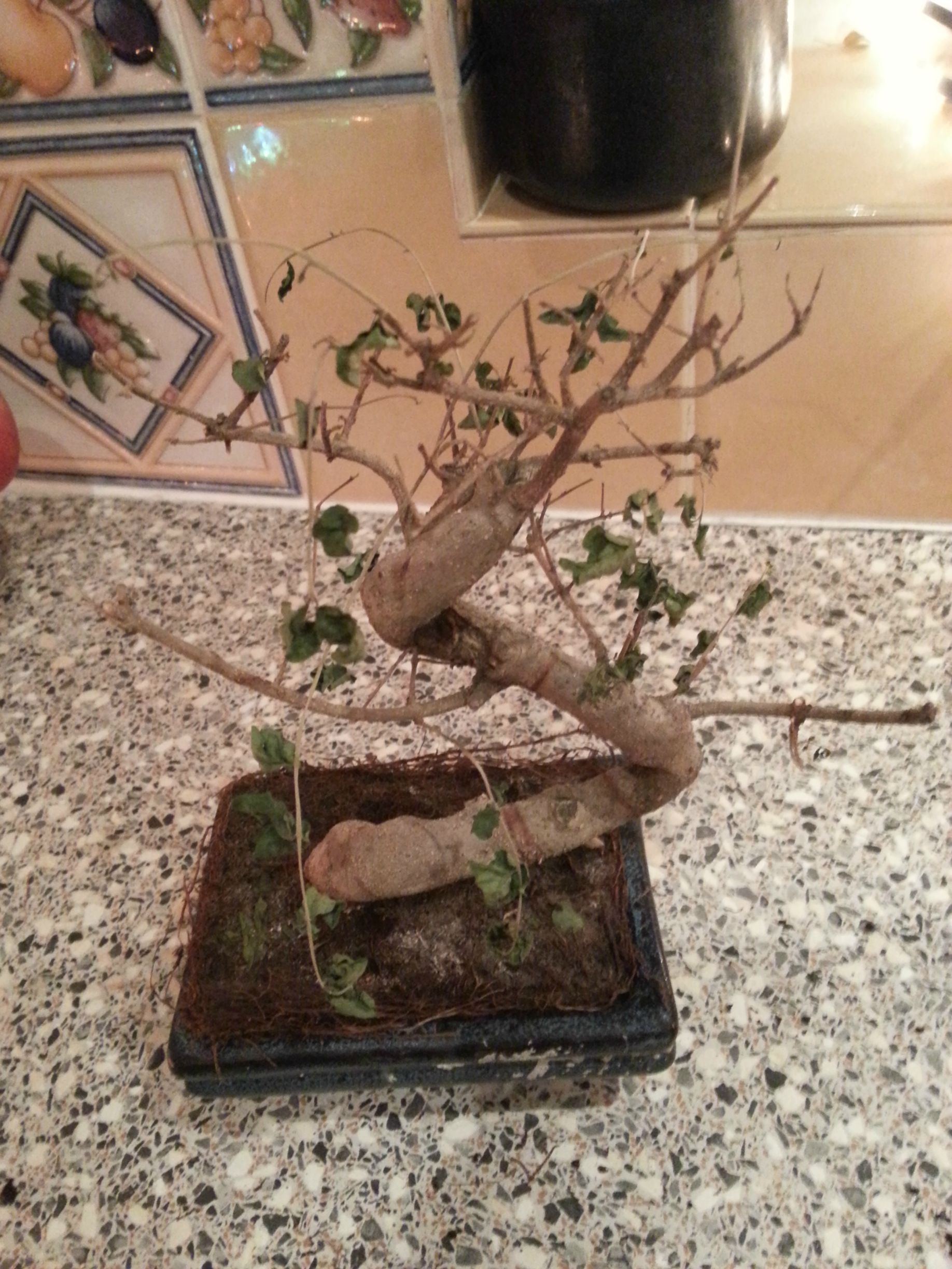 Problems With Your Bonsai Top Seven Signs Of Trouble Bonsai Outlet