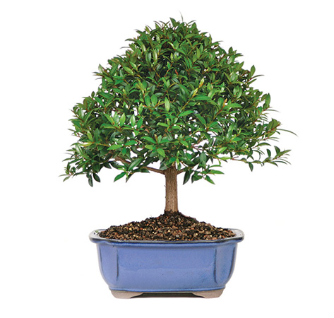 Brush Cherry Bonsai Care