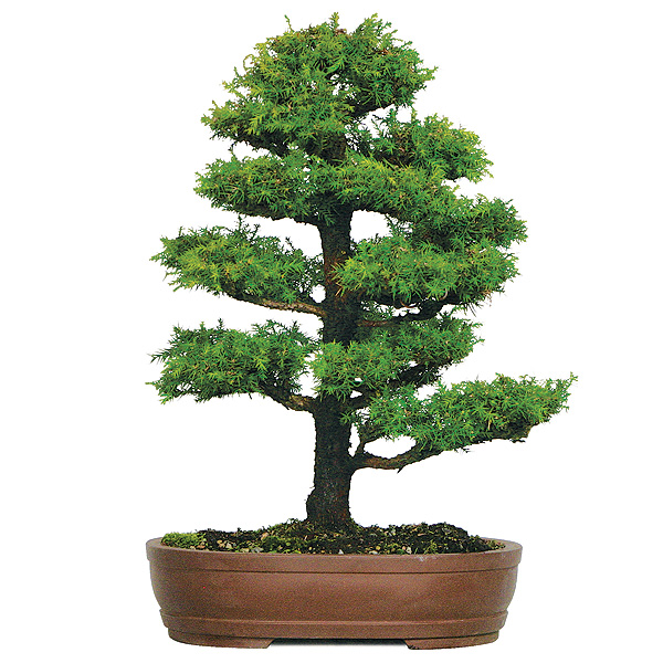 dwarf-cryptomeria-bonsai-tree.jpg
