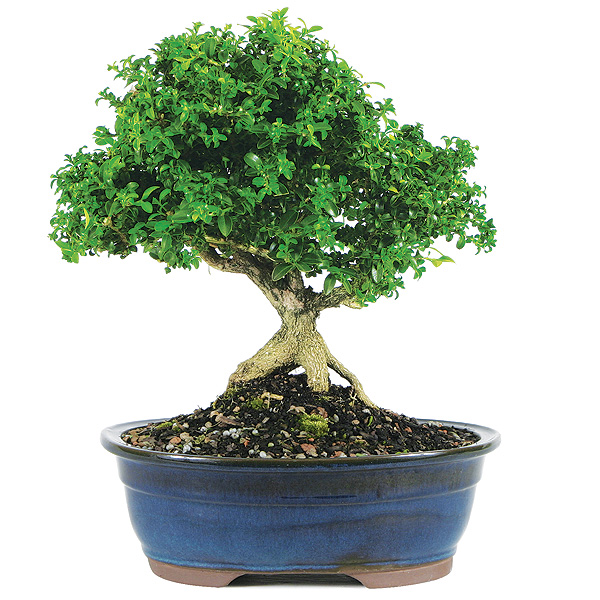 dwarf-kingsville-boxwood-bonsai-tree.jpg