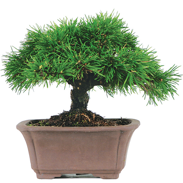 dwarf-mugo-pine-bonsai-tree.jpg