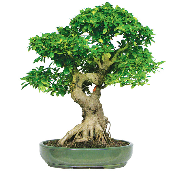 Ficus Bonsai Care on