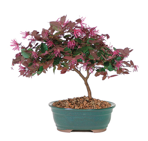 fringe-flower-bonsai-tree.jpg