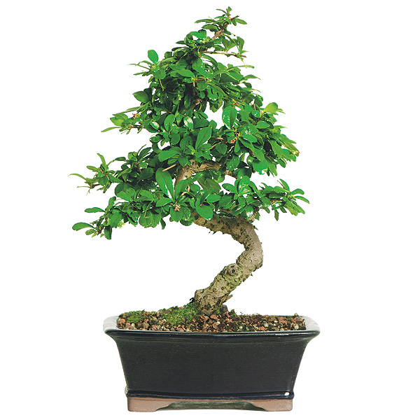 Fukien Tea Bonsai Care
