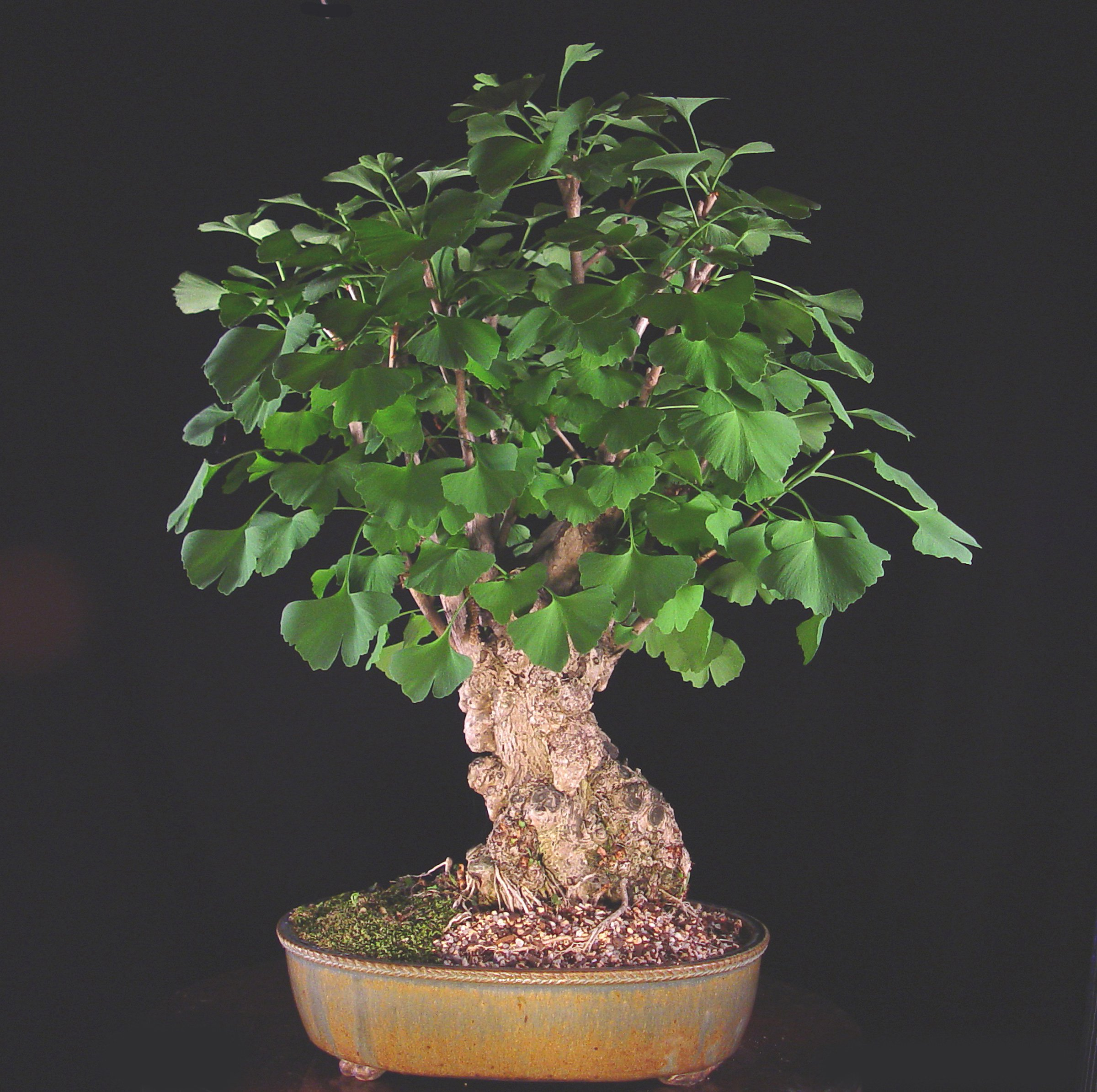 ginkgo-bonsai-tree.jpg
