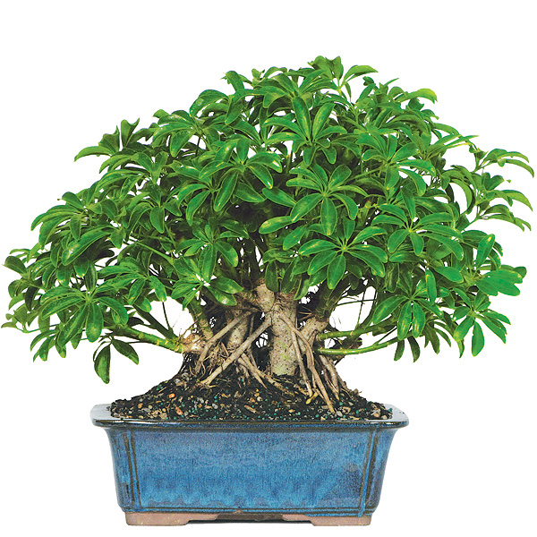 hawaiian-umbrella-bonsai.jpg