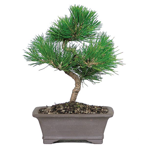 japanese-black-pine-bonsai-tree.jpg