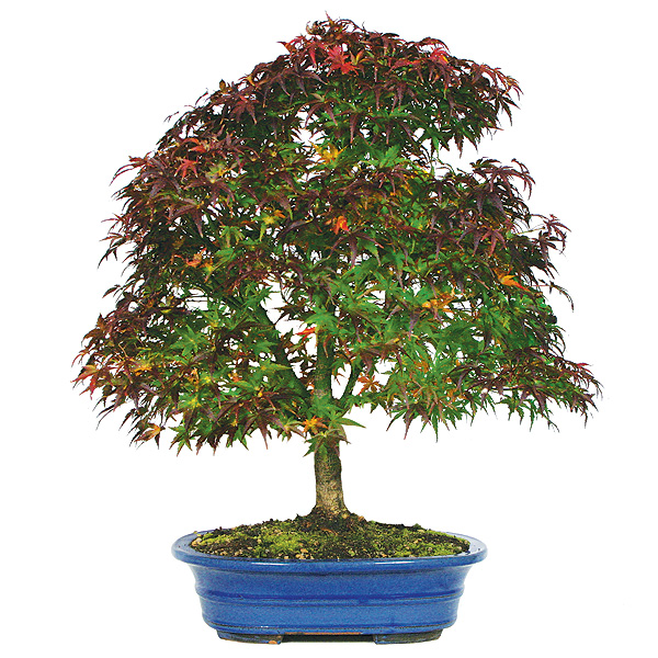 Japanese Maple Bonsai Care