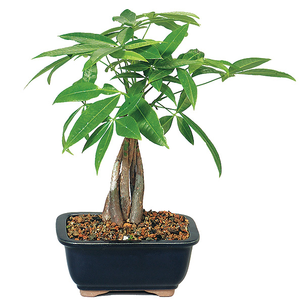money-tree-bonsai-tree.jpg