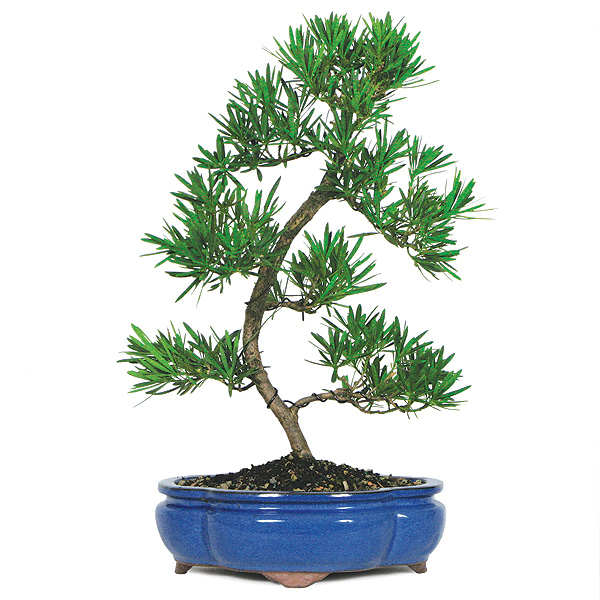podocarpus-bonsai-tree.jpg