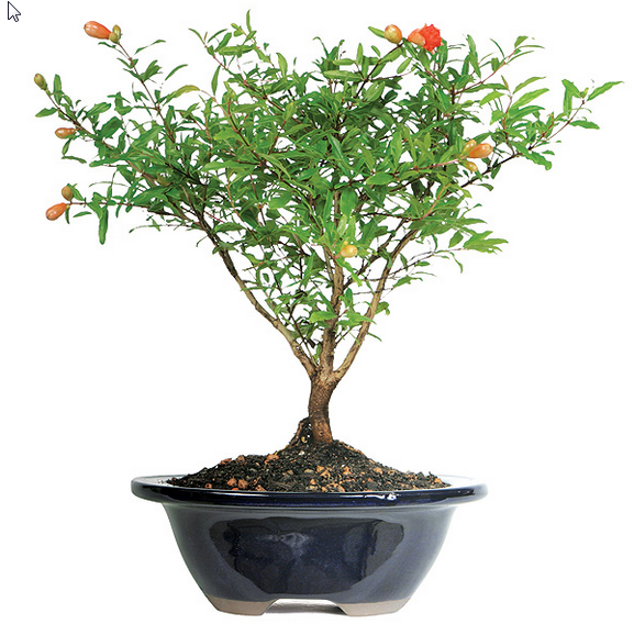 pomegranate-bonsai-tree.png