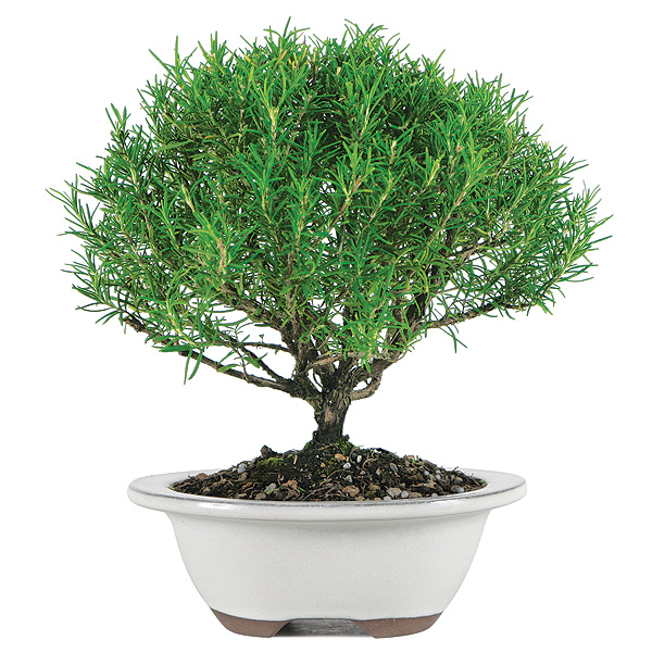 rosemary-bonsai-tree.jpg