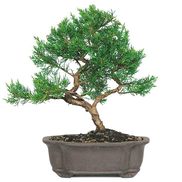 Shimpaku Juniper Bonsai Care Bonsaioutlet Com