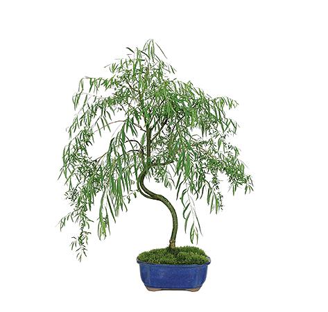 weeping-willow-bonsai-tree.jpg