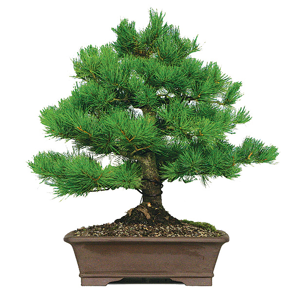 white-pine-five-needle-japanese-pine.jpg